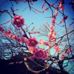 新宿御苑の紅梅