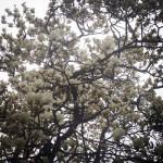 新宿御苑のハクモクレン