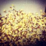 需要と供給のバランスが・・・:スプラウト栽培
