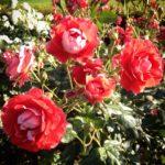 ピカソという名の薔薇