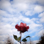 男前な薔薇ブラックティー