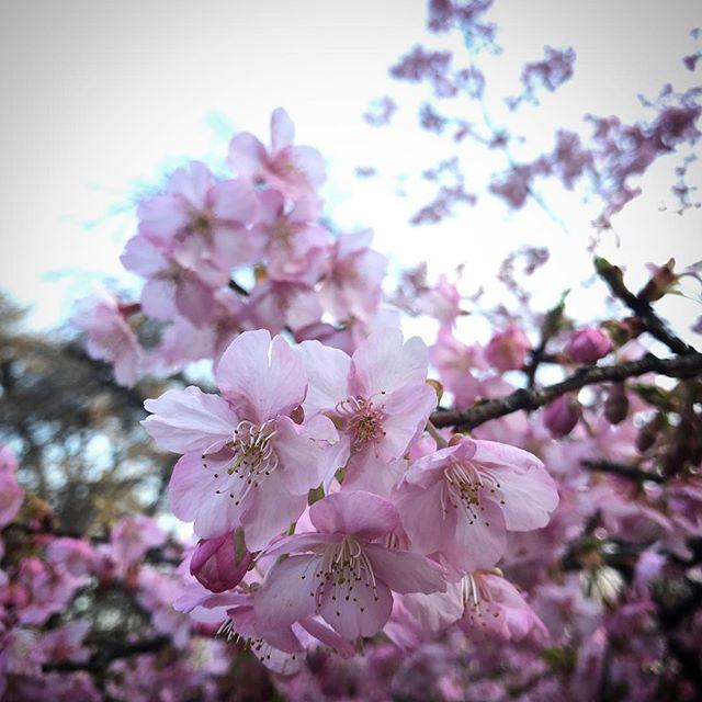 ️曇りでも花は咲く #sky #clouds #shinjuku #shinjukugyoen #cherryblossom #sakura  #tokyo #新宿御苑 #空 #雲 #ソラ #桜