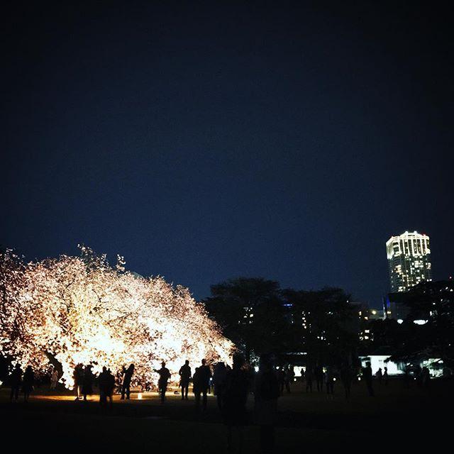 夜桜ライトアップ2日目 #sakura #cherryblossom #sky  #shinjuku #shinjukugyoen  #tokyo #新宿御苑 #夜桜 #桜 #空 #ソラ #イマソラ