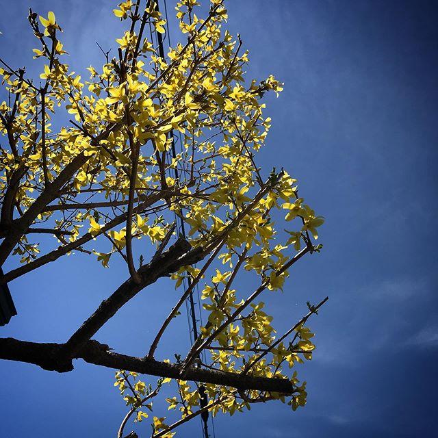 ️️️ #sky #clouds #hokkaido #flower #yellowflowers #北海道 #空 #雲 #ソラ #イマソラ #レンギョウ #連翹