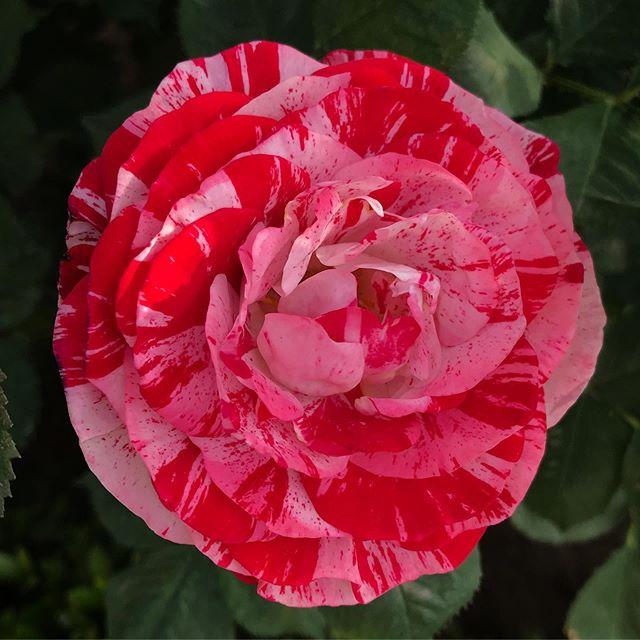 アラベスク #arabesque  #rose #flower #redandwhiteflower #twotoneflower #shinjukugyoen #shinjuku #tokyo #新宿御苑 #薔薇