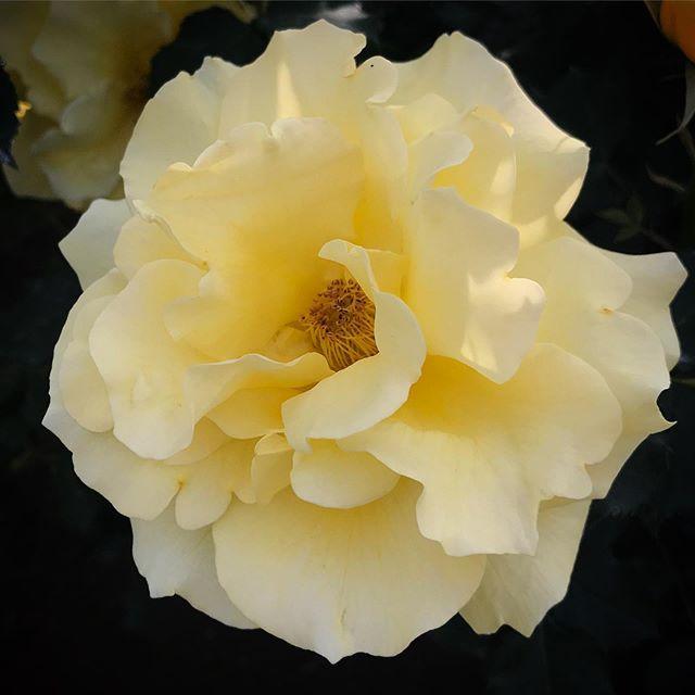 ゴールドバニー #goldbunny #rose #yellowrose #flower #yellowflower #shinjukugyoen #shinjuku #tokyo #新宿御苑 #薔薇