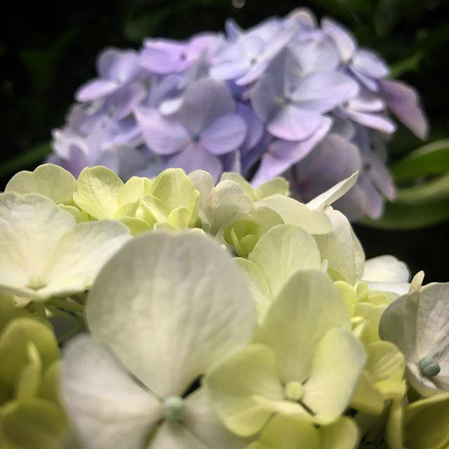 🏻 #新宿御苑 #紫陽花 #あじさい #shinjuku #shinjukugyoen  #tokyo #flower #hydrangea