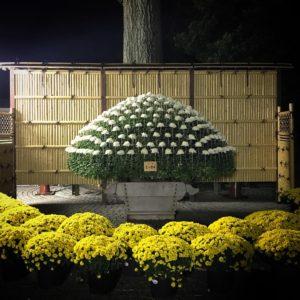 夜菊ライトアップ20191113