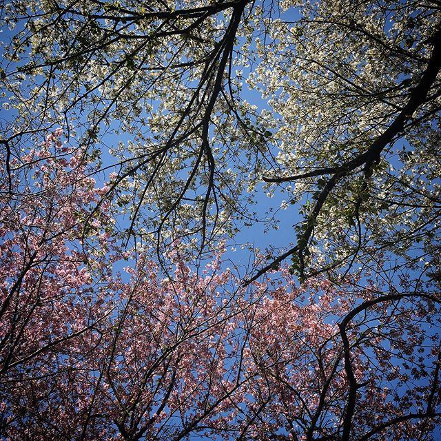 #sky #cherryblossom #shinjuku #shinjukugyoen  #tokyo #新宿御苑 #空 #ソラ #イマソラ #桜